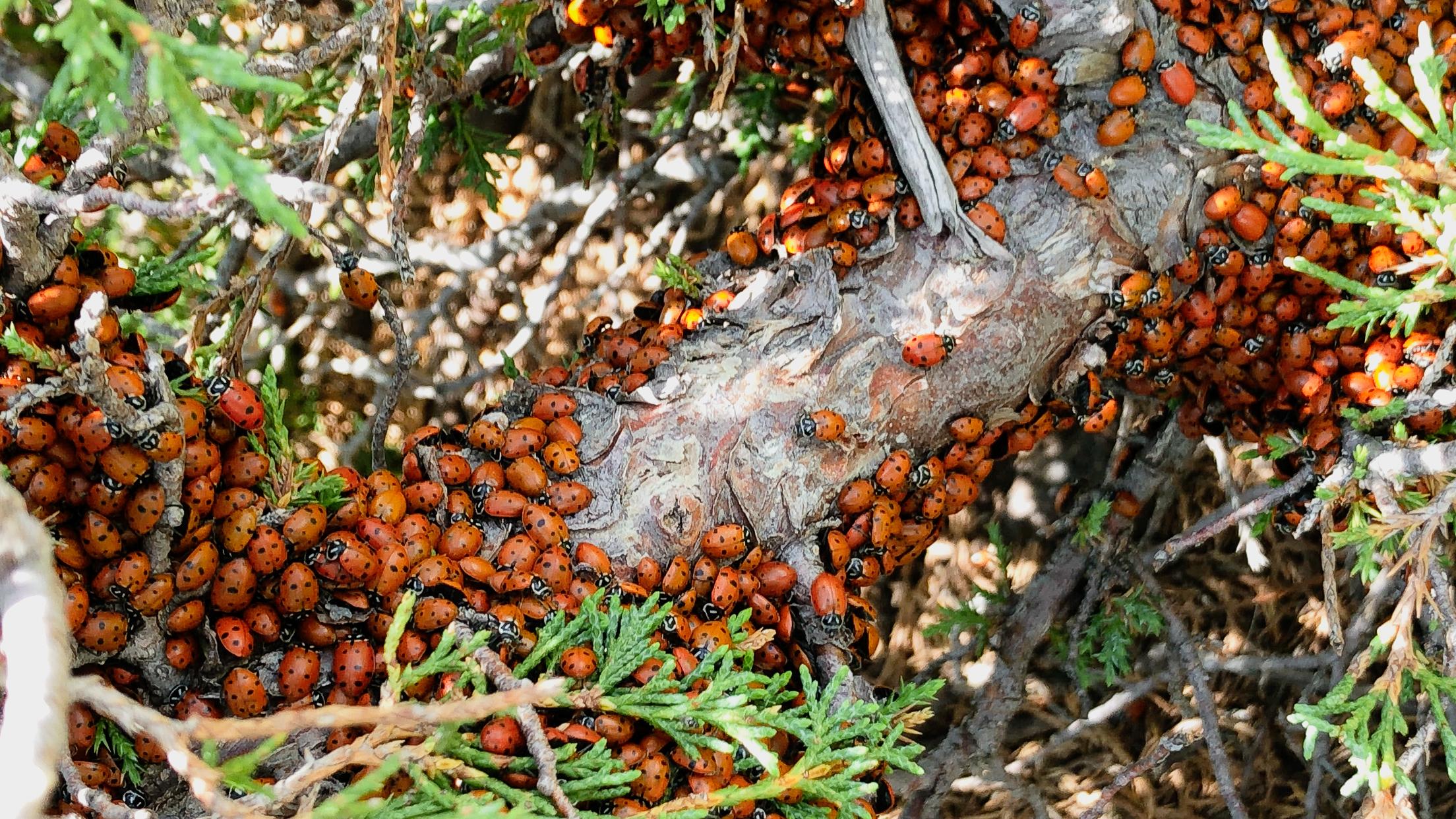 ladybugs-capulin